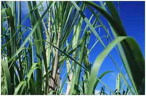 green_corn.jpg